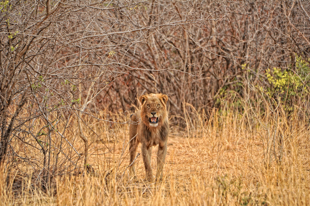 lion-walking-safari-mana-pools-zimbabwe