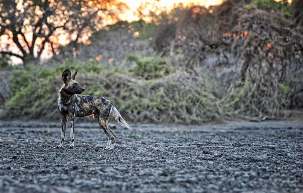 wild-dogs-mana-pools-safari-zimbabwe
