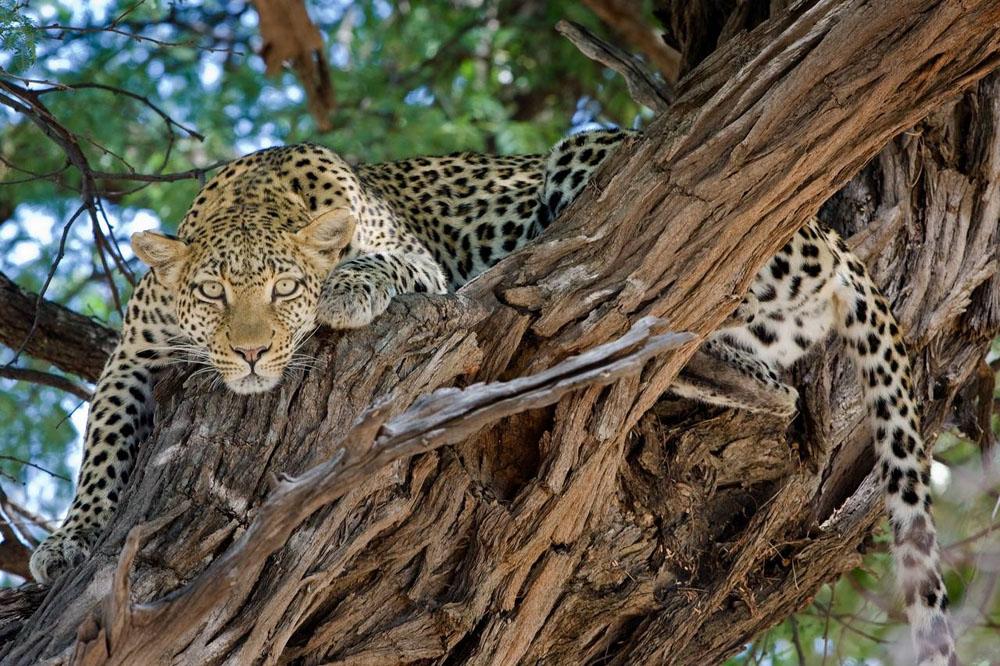leopard in a tree, big cat, big 5 animal, African safari