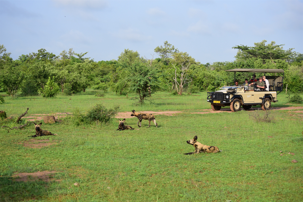 A pack of wild dogs relaxing in the bush under the sun