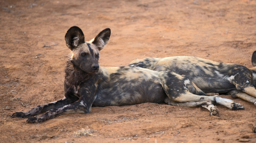 Wild dogs relaxing in Madikwe Game Reserve