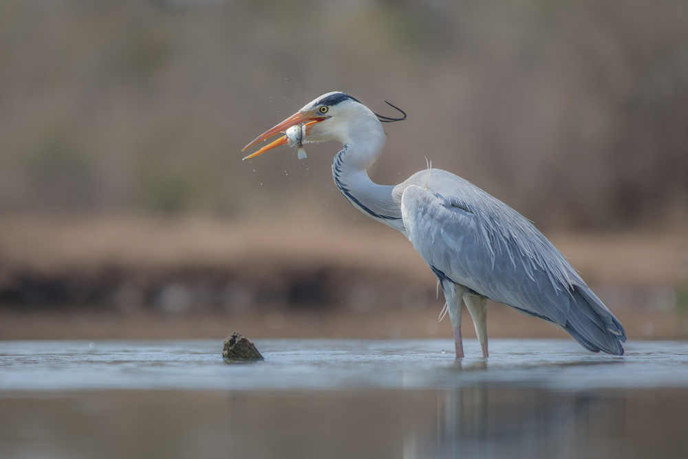Grey heron with a freshly-caught fish
