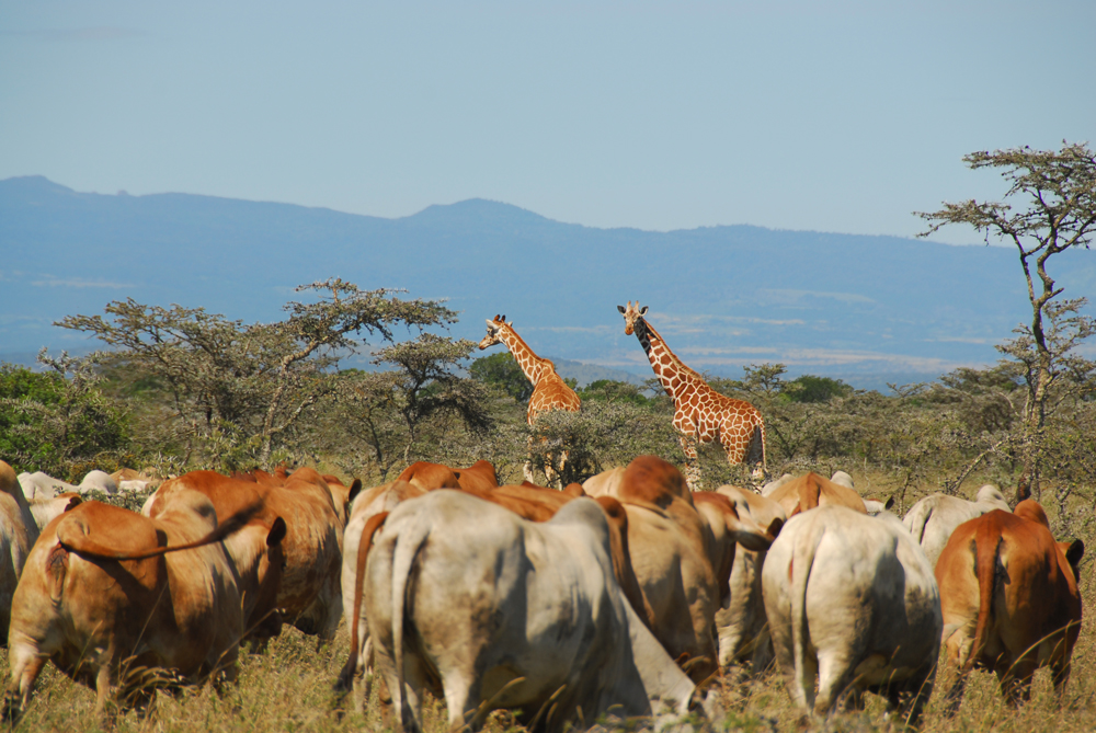Livestock and giraffes seen in Ol Pejeta conservancy