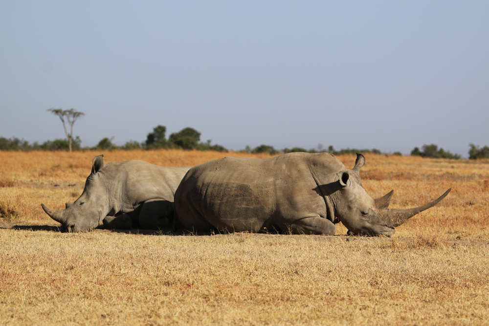 Two white rhino resting during the day, Ol Pejeta conservancy