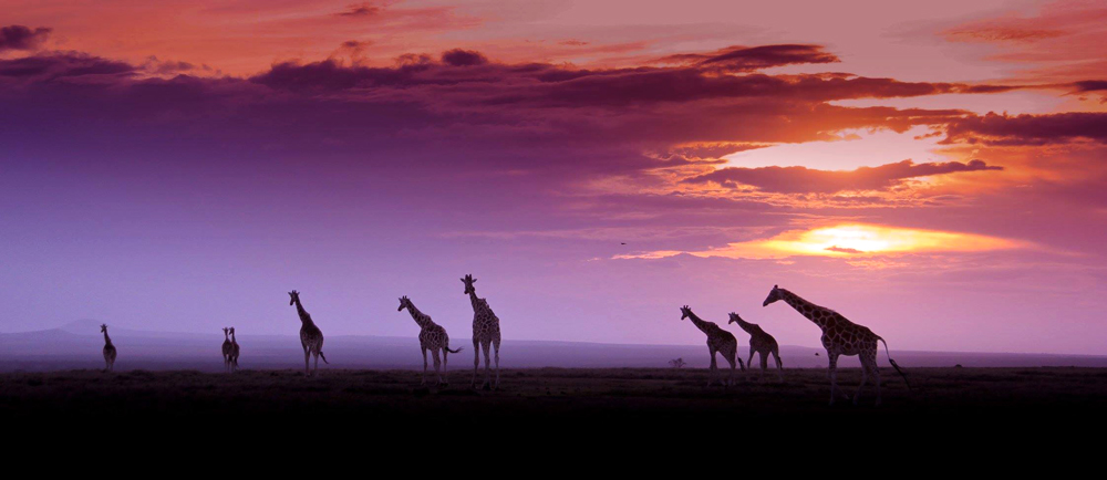 A herd of giraffe at sunset in Ol Pejeta conservancy