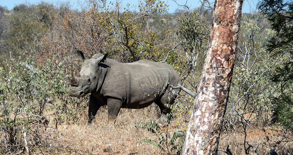 Rhino spotted in the wilderness
