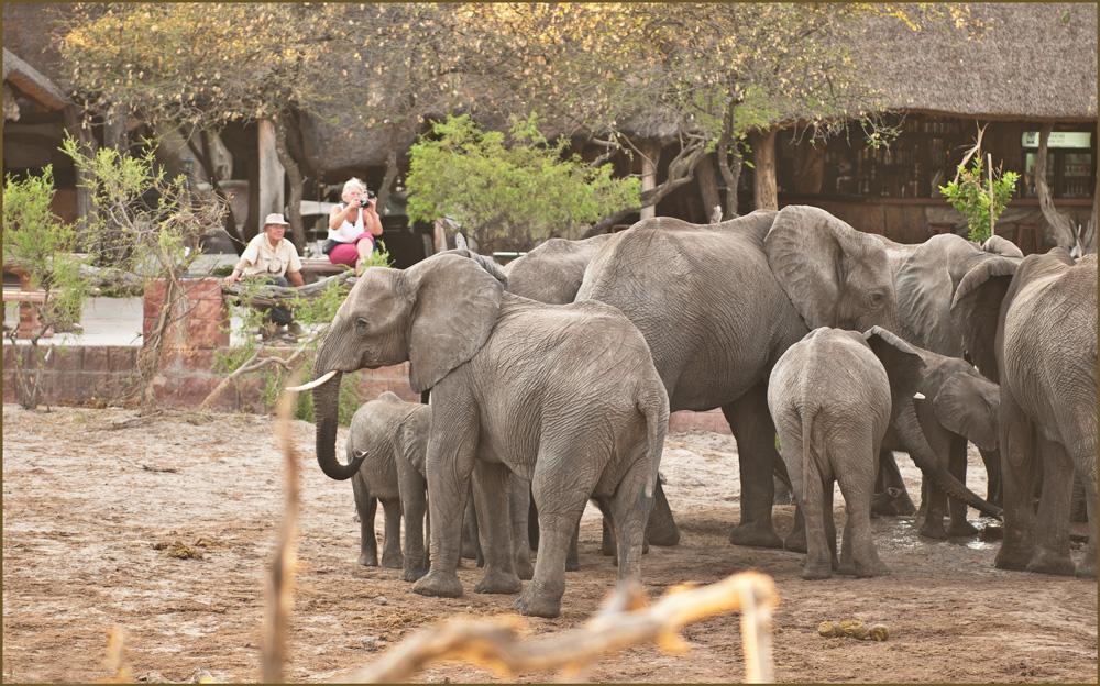 Thirsty elephants drinking water at Elephant Sands. Water for Elephants Trust, Botswana