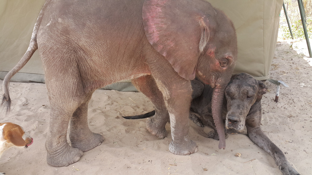 Dehydrated baby elephant. Water for Elephants Trust, Botswana