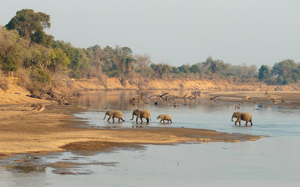 Elephants crossing the Luangwa River, Zambia.