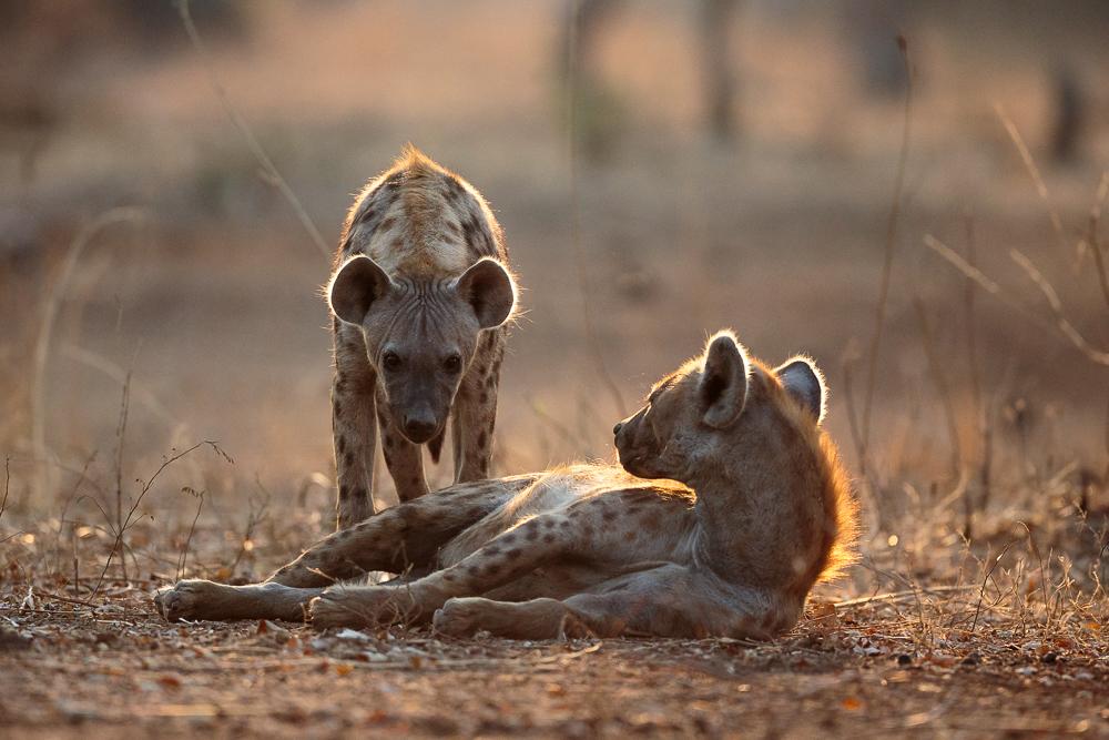 Two hyenas spotted. South Luangwa, Zambia.