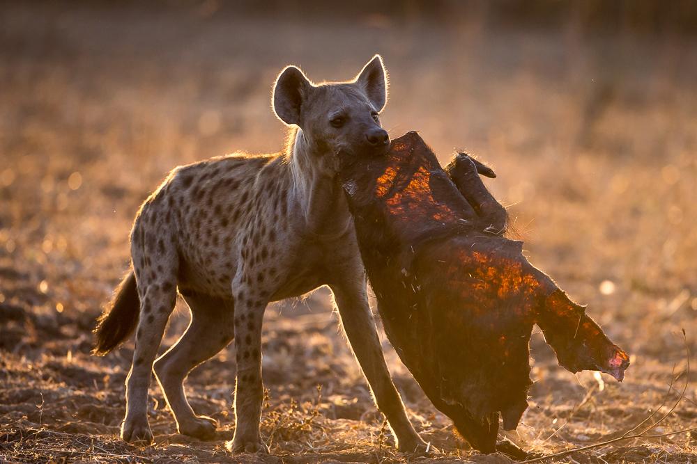 A hyena carrying a dry piece of buffalo skin