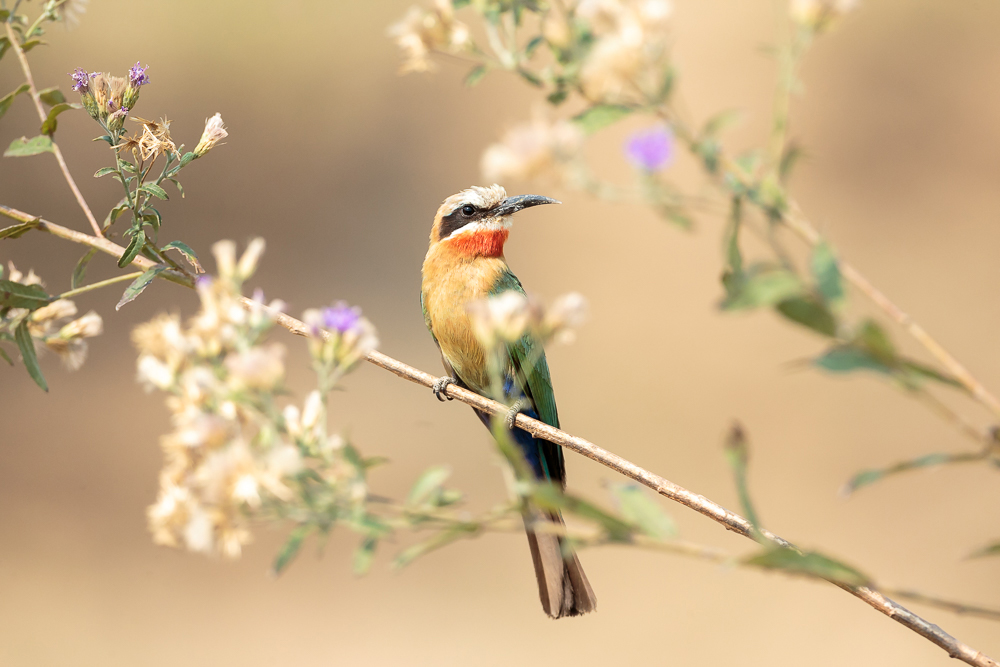 A wonderful photo of a white-fronted bee-eater in South Luangwa