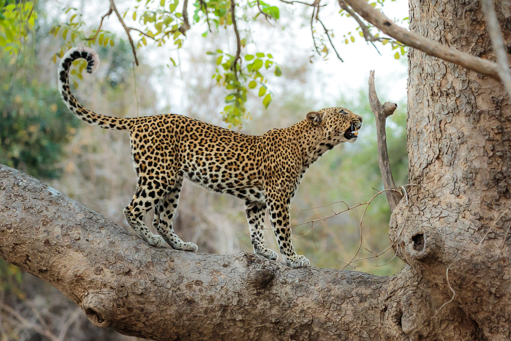 An angry leopard in a tree who has had his prey stolen