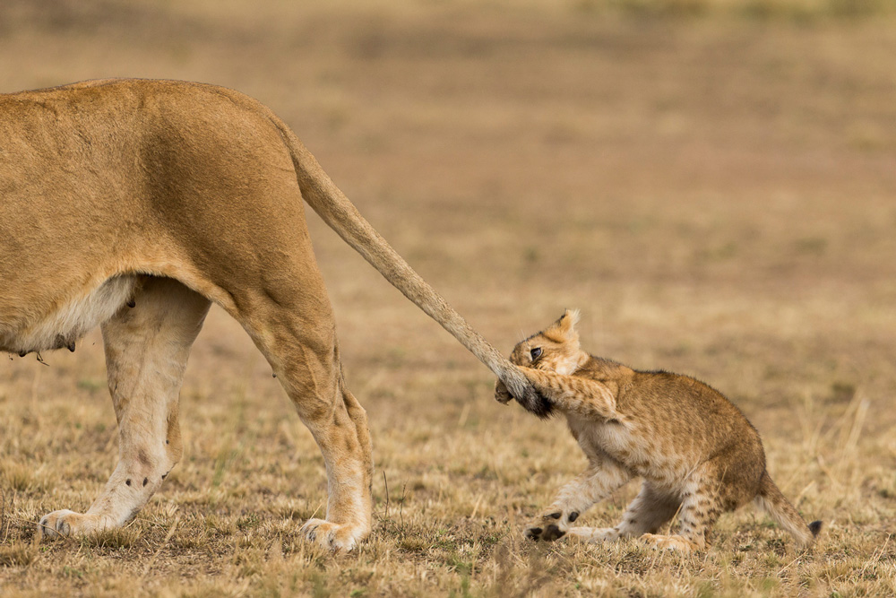 Lion cub pulling its mother's tail
