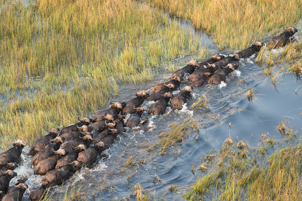 A big herd of buffalo crossing a river