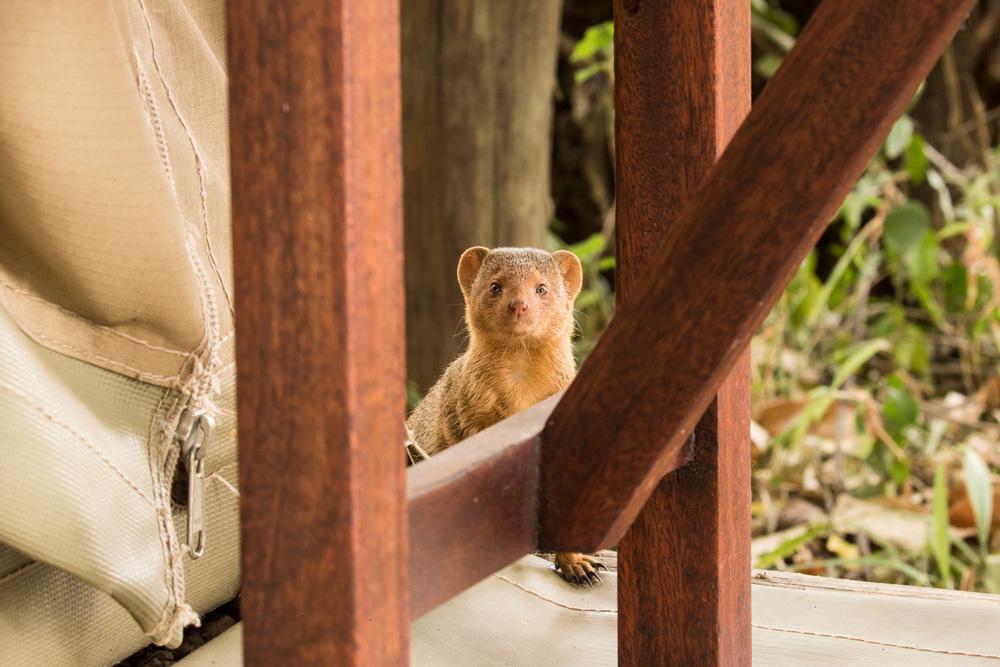 Close up photo of a dwarf mongoose