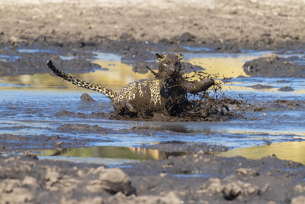 Muddy leopard catching its prey