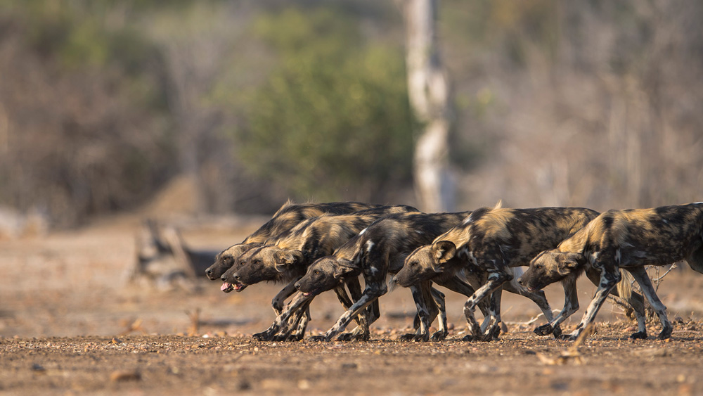A pack of hyenas on the hunt