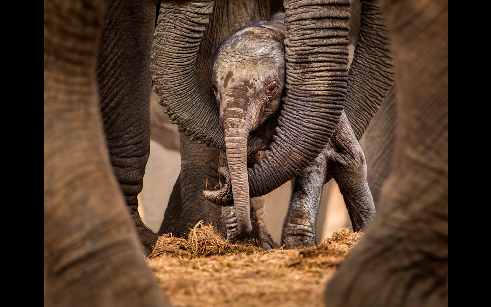 An elephant calf being hugged by two trunks