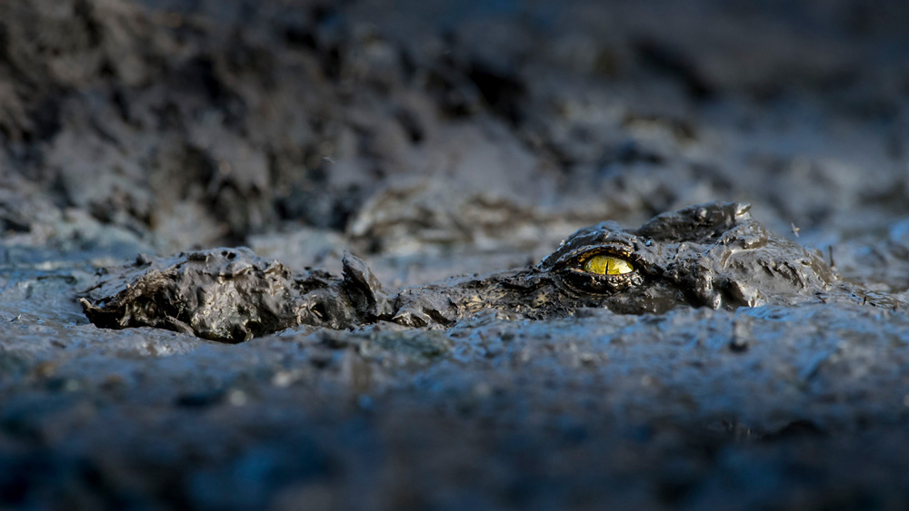 Crocodile camouflaged in the mud