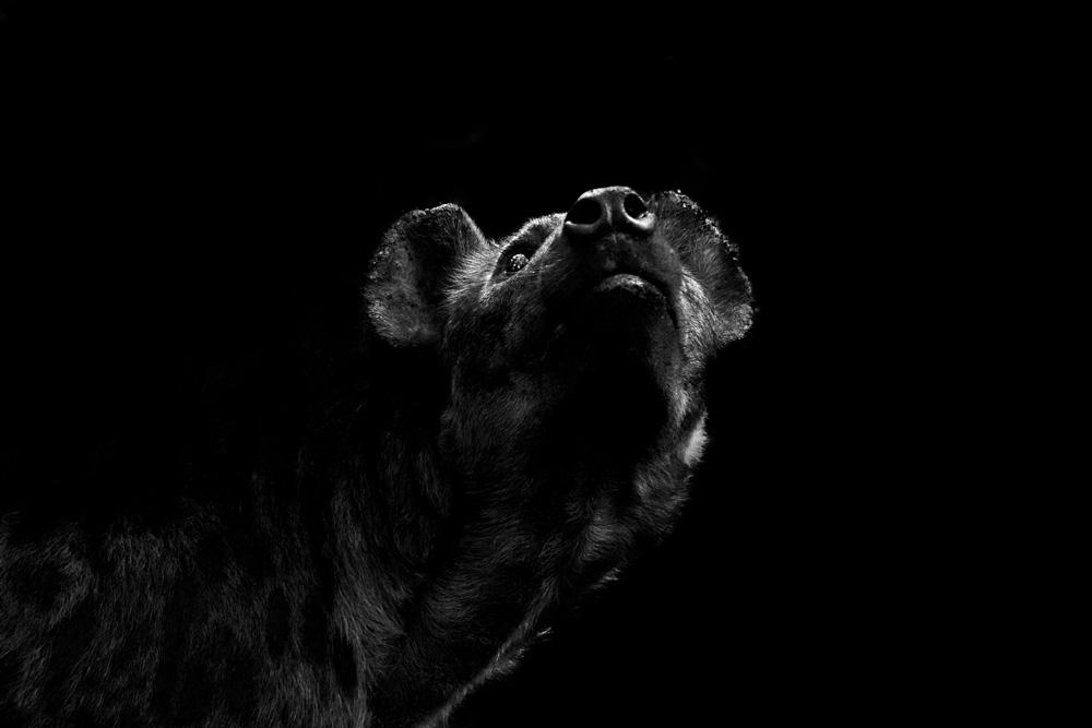 Close up of a hyena gazing