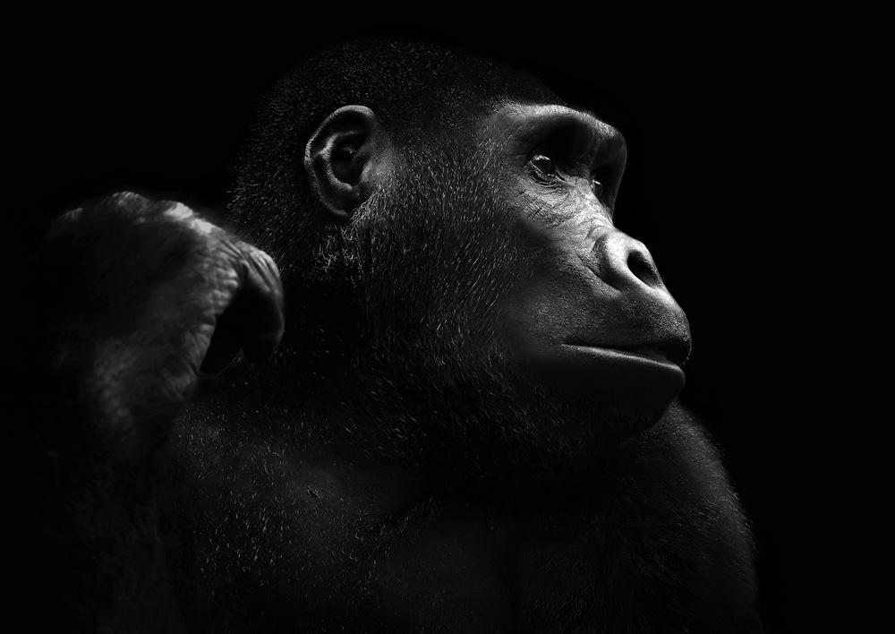 Close up photo of a gorilla