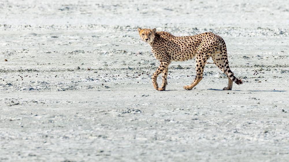 Cheetah walking in the plains