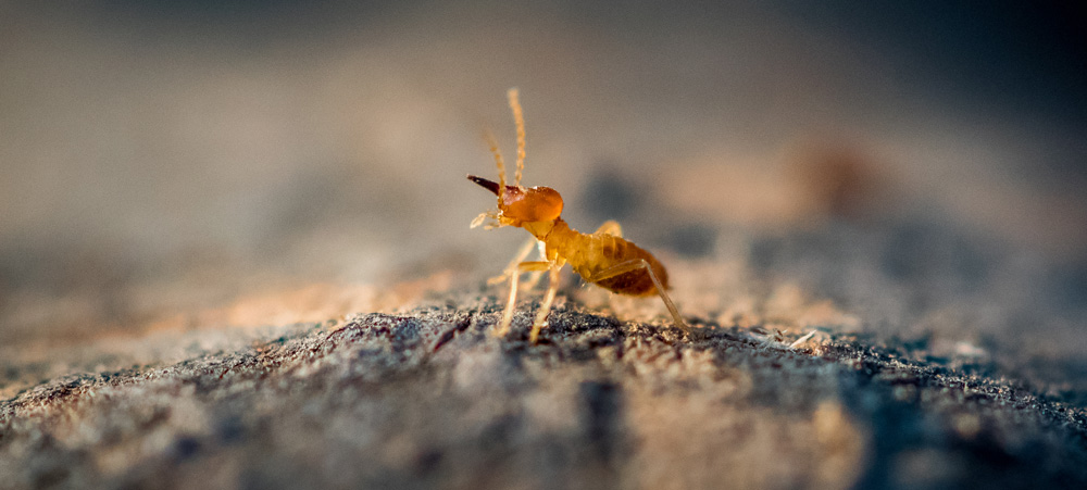 A termite standing on a mound