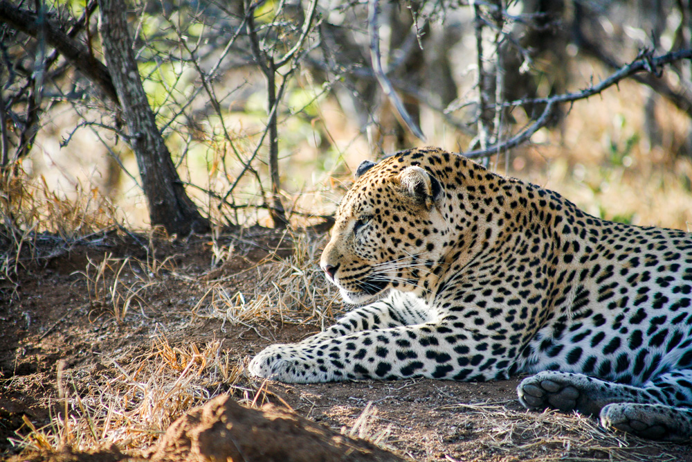 Leopard relaxing in the bush
