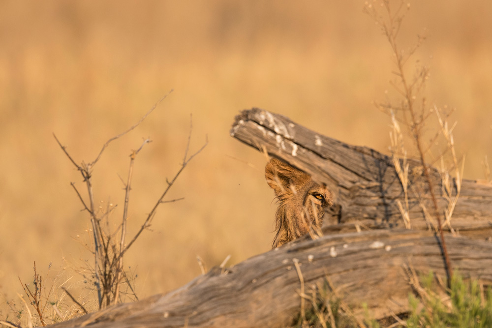 Lion peaking out from behind a log