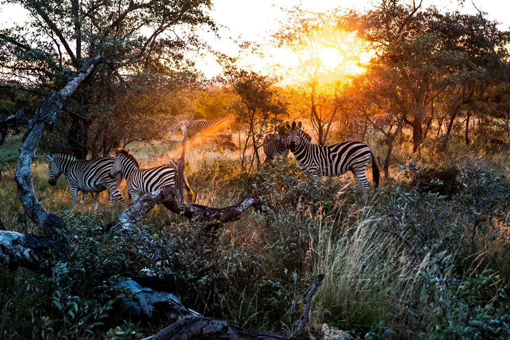Three zebras in the bush