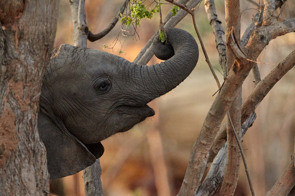 Young elephant calf eating vegetation in Kafue National Park, Zambia