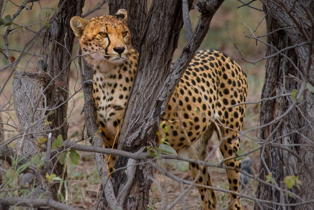 Cheetah looking through tree in Kruger National Park, South Africa