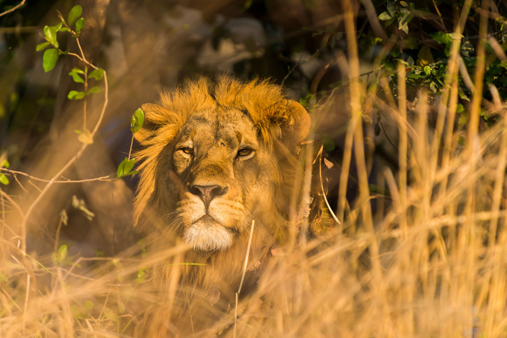 Male lion in tall grass in Kafue National Park, Zambia