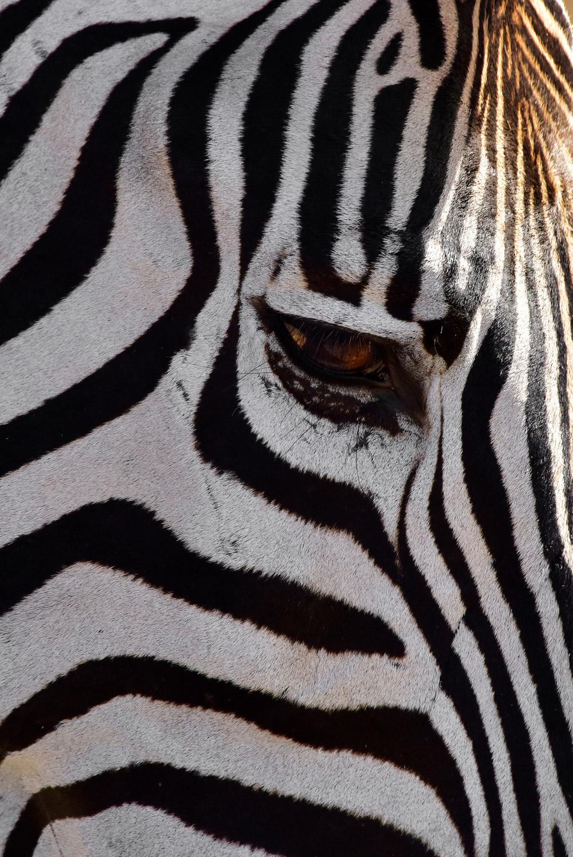 Up close of zebra's face in Kruger National Park, South Africa