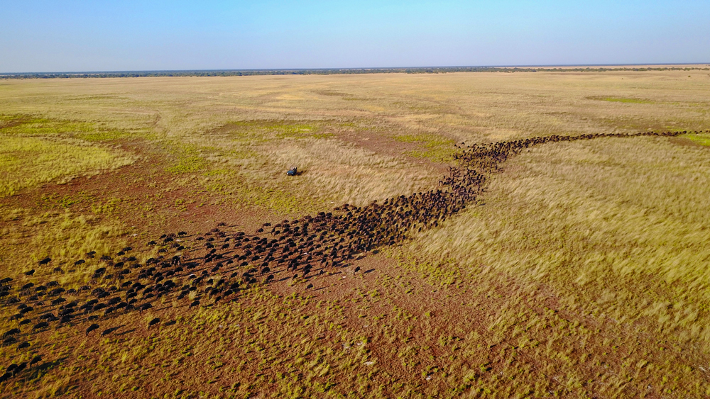The annual wildebeest migration in Liuwa Plains