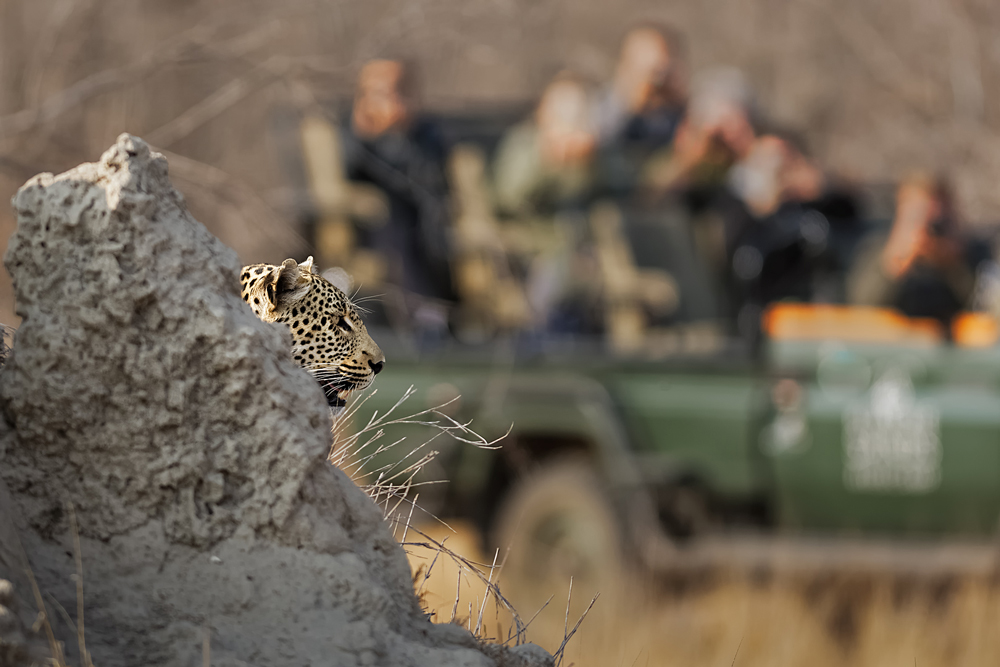 Leopard peeking from behind a termite mound