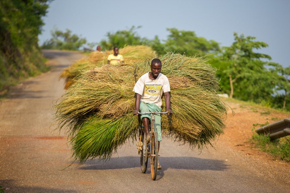 A young man transports a load of thatch