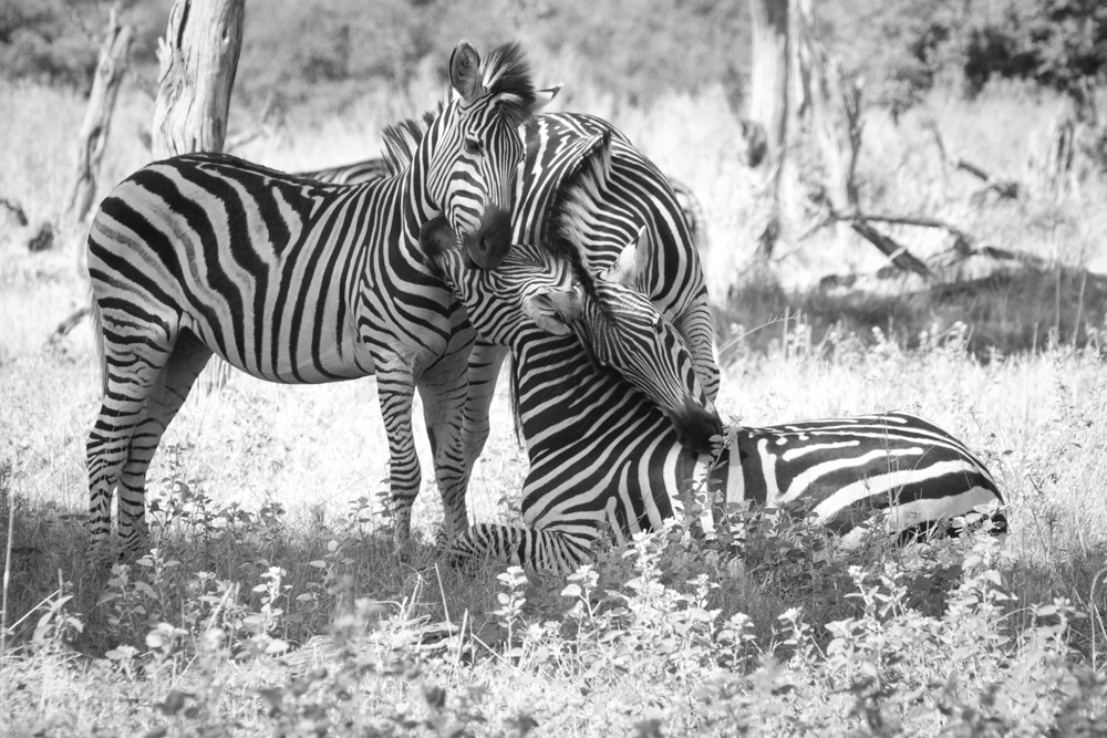 Affection between three zebras