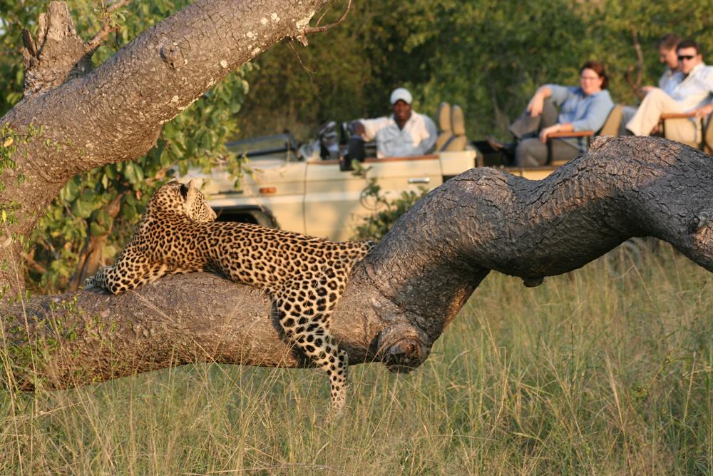 A leopard lying in a tree