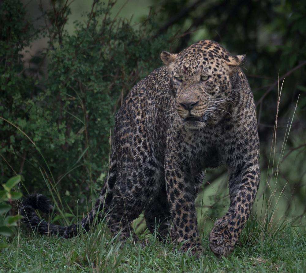 A muddy leopard