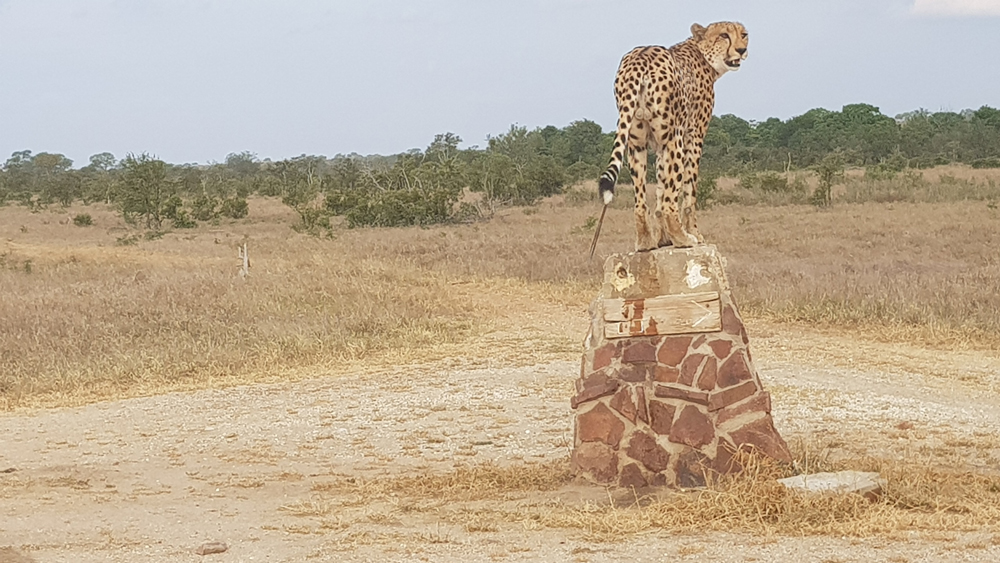 Male cheetah standing on a road sign