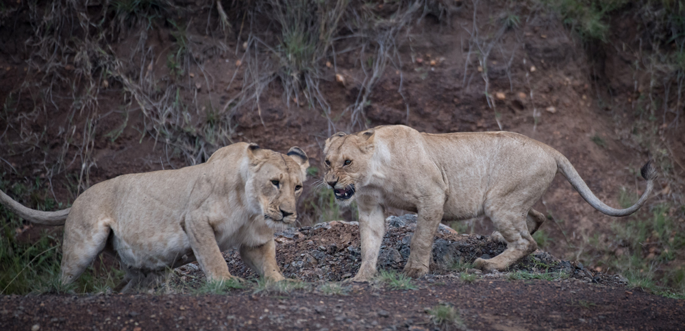 Full-bellied lions
