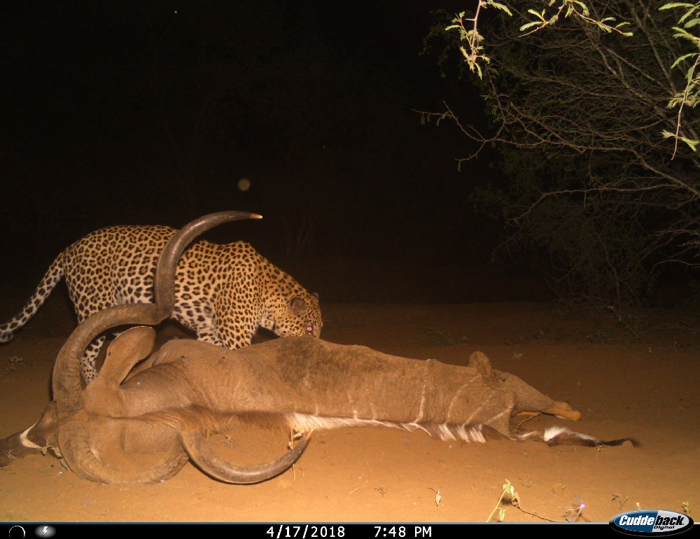 A leopard feeds on a large kudu bull on the estate