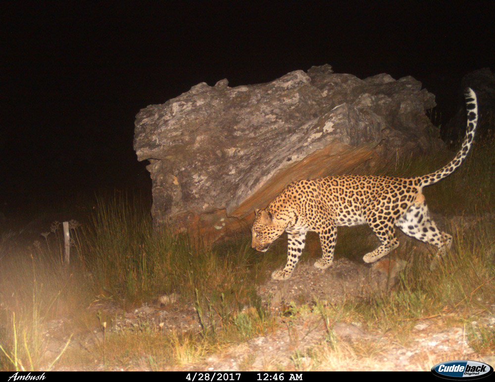 A territorial adult male called Apollo in the Bainskloof mountains.