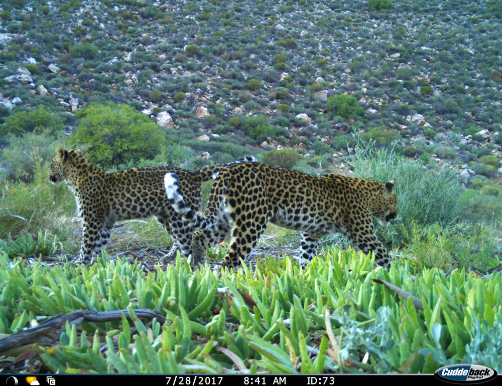 The adult female in this photo is known as CF29 and the sub-adult is known as CU1. This photo was taken in the Cederberg near Dwarskloof.