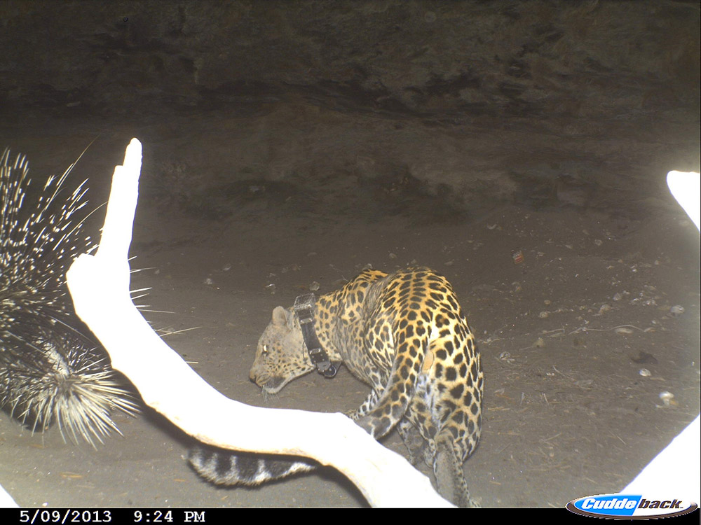 Scott (BM12), a dominant male leopard