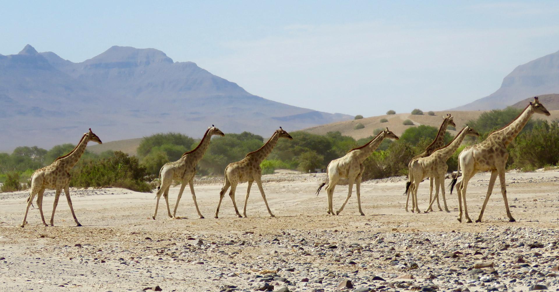 Angolan giraffe herd