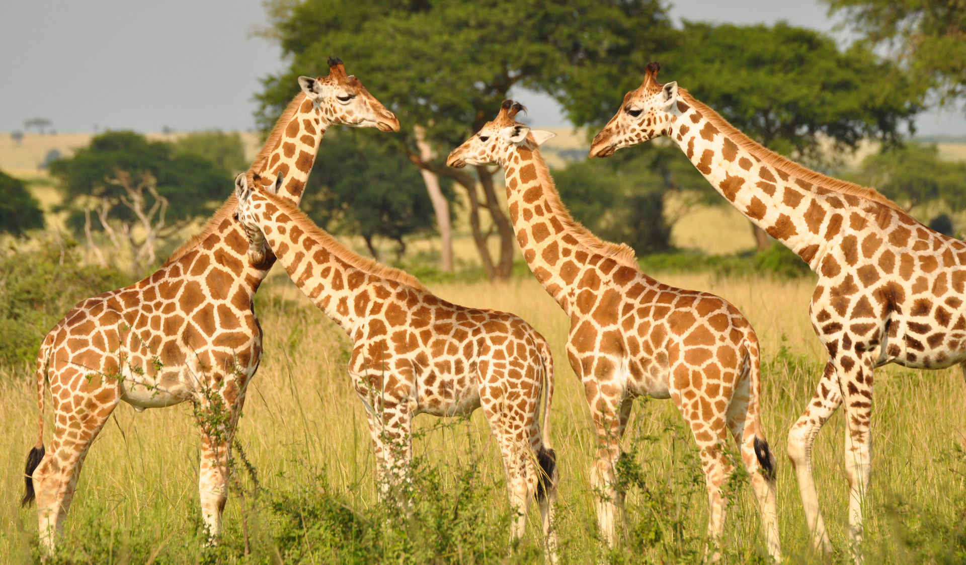 Nubian giraffe herd in Murchison Falls National Park, Uganda