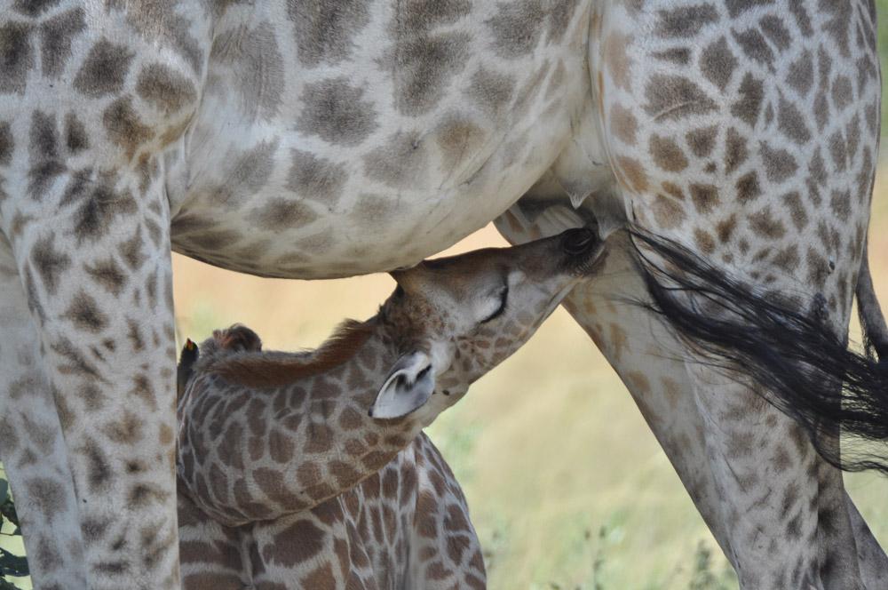 Young South African giraffe suckling mother giraffe